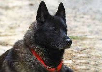 Black Norwegian Elkhound Dog Breed Information – All You Need To Know