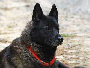 Black Norwegian Elkhound Dog Breed Information All You Need To Know