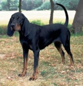 Black And Tan Virginia Foxhound Dog Breed Information All You Need To Know