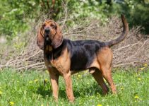 Bloodahouli Dog Breed Information – All You Need To Know