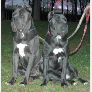 Blue Blood Cane Corso Dog Breed Information All You Need To Know
