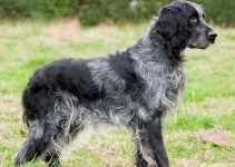 Blue Picardy Spaniel Dog Breed Information All You Need To Know