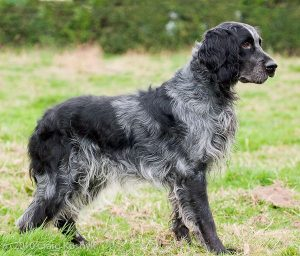 Blue Spaniel Dog Breed Information All You Need To Know