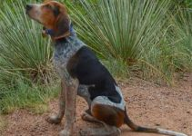 Bluetick Coonhound Harrier Dog Breed Information All You Need To Know