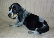 Bluetick Coonoodle Dog Breed Information – All You Need To Know