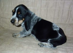 Bluetick Coonoodle Dog Breed Information All You Need To Know