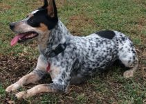 Bluetick Rat Terrier Dog Breed Information All You Need To Know