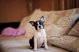Bo Jack Dog Breed Information All You Need To Know