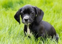 Bocker Dog Breed Information – All You Need To Know