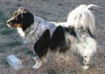 Bodacion Dog Breed Information – All You Need To Know