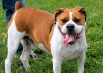 Bogle Dog Breed Information – All You Need To Know