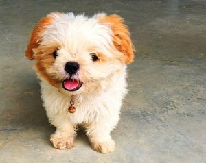 Bolo Chi Dog Breed Information All You Need To Know