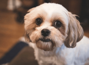 Bolo Tzu Dog Breed Information All You Need To Know
