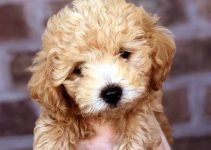 Bolonoodle Dog Breed Information – All You Need To Know