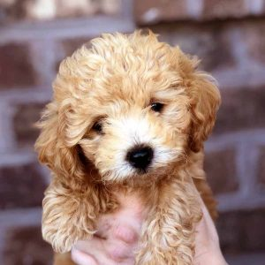 Bolonoodle Dog Breed Information All You Need To Know