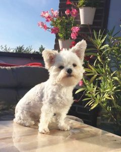 Bolosilk Dog Breed Information All You Need To Know
