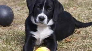 Borador Dog Breed Information All You Need To Know