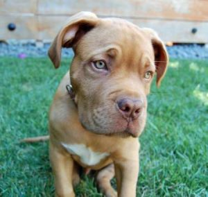 Bordeaux Pitbull Dog Breed Information All You Need To Know