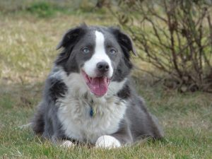 Border Aussie Dog Breed Information All You Need To Know