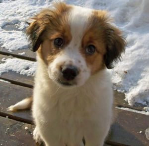 Border Collie Bernard Dog Breed Information All You Need To Know
