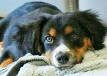 Border Collie Britt Dog Breed Information – All You Need To Know