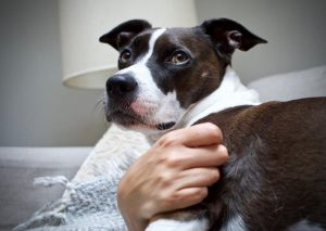 Border Collie Bull Staffy Dog Breed Information All You Need To Know