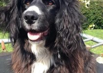 Border Collie Cocker Dog Breed Information – All You Need To Know