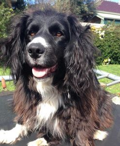 Border Collie Cocker Dog Breed Information All You Need To Know