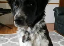 Border Collie Pyrenees Dog Breed Information – All You Need To Know