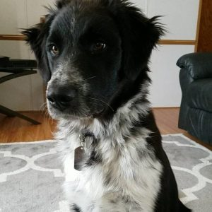 Border Collie Pyrenees Dog Breed Information All You Need To Know