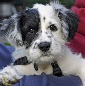 Border Schnollie Dog Breed Information All You Need To Know