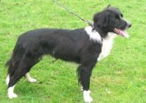 Border Springer Dog Breed Information – All You Need To Know