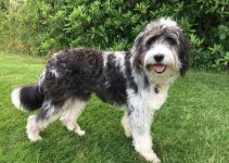 Bordoodle Dog Breed Information – All You Need To Know