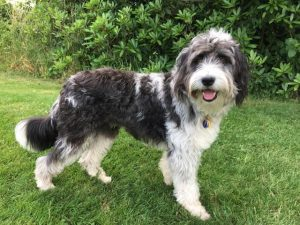 Bordoodle Dog Breed Information All You Need To Know