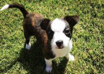 Boston Malterrier Dog Breed Information – All You Need To Know