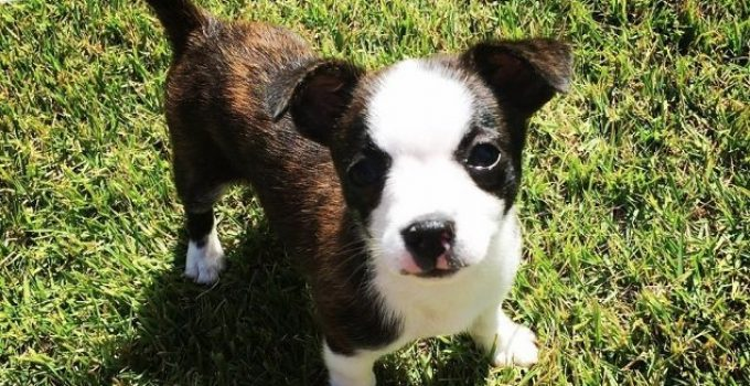Boston Malterrier Breed Dog Information All You Need To Know