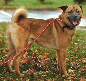 Boxer Chow Dog Breed Information All You Need To Know