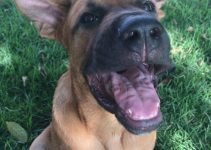 Boxer Shepherd Dog Breed Information – All You Need To Know