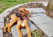Boxerman Dog Breed Information – All You Need To Know