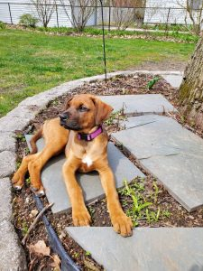 Boxerman Dog Breed Information All You Need To Know