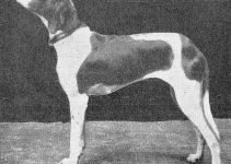 Braque Du Puy Dog Breed Information – All You Need To Know
