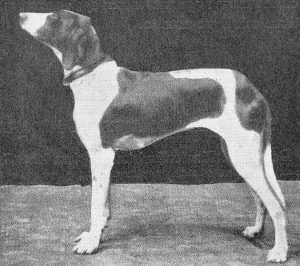 Braque Du Puy Dog Breed Information All You Need To Know