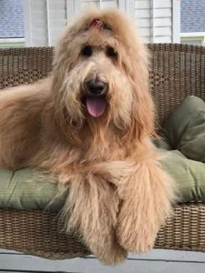 Bridoodle Dog Breed Information All You Need To Know