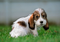 Briquet Griffon Vendeen Dog Breed Information – All You Need To Know