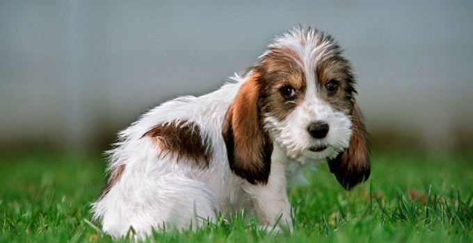 Briquet Griffon Vendeen Dog Breed Information All You Need To Know