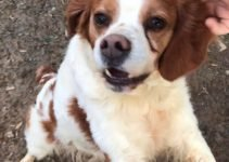 Brittany Beagle Dog Breed Information All You Need To Know