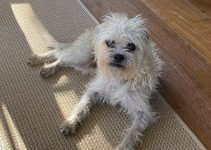 Broodle Griffon Dog Breed Information – All You Need To Know