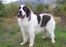 Bucovina Shepherd Dog Breed Information All You Need To Know