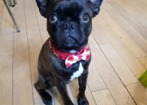 Buggs Dog Breed Information – All You Need To Know
