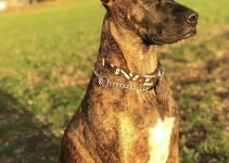 Bull Arab Dog Breed Information All You Need To Know